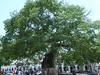 The Chiapa Pochota Tree
