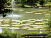 The Lily Pond In Bogor Botanical Gardens