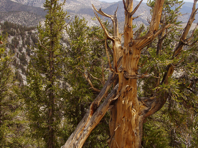 The Shulman Grove Of Bristlecone Pines