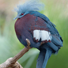 The Southern Crowned Pigeon