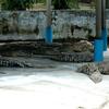The Teluk Sengat Crocodile Farm
