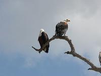 Uganda Birding Safari Classic (22 days)