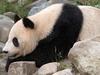 Giant Panda In Vienna's Tiergarten Schönbrunn