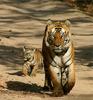 Tiger In Pakke Tiger Reserve