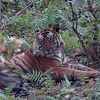 Tiger Sighting At Bandhavgarh