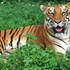 Tiger Simlipal