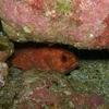 Toadstool Grouper @ Poor Knights NZ Diving Site