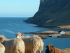 Faroes Sheep - Faroe Islands