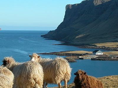 Faroes Sheep - Faroe Islands