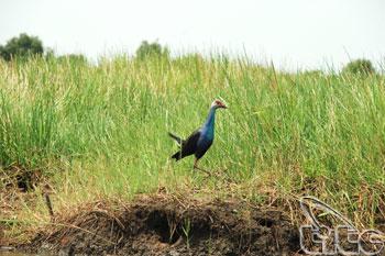 Tram Chim National Park Bird