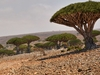 Tree On Socotra Island