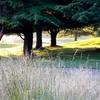 Trees At Redtail GC - BeavertonOR