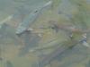 Trout At Tonto Creek