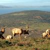 Tule Elk At Tomales Point