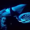 Two Manta Rays Feeding At Night