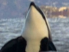 Orca Taking A Look Above The Water