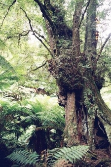 Tarra Bulga Forest
