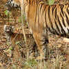 Tigeress With Cubs In Kanha Tiger Reserve