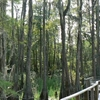 A Boardwalk Over Cypress Habitat
