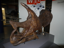 Triceratops Skull At The Thinktank