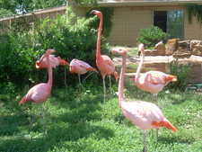 Tulsa Zoo Flamingos