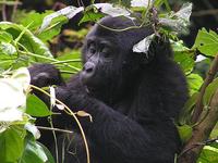 Rwanda - Uganda Gorillas