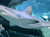 A Blacktip Shark In The Shark Aquarium