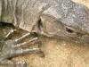 Varanus Benghalensis