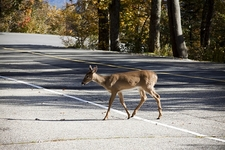 View Deer At Grandfather Mountain NC
