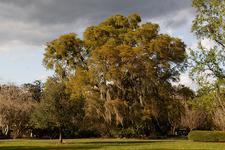 View Oak In Harry P Leu Gardens - Orlando