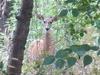 View White-Tail Deer Near Hagerman ID