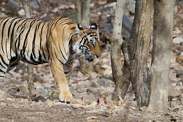 Fetch The Tiger Marks - Corbett Tour Photos