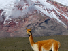 Vicuña One Of Two Wild South American Camelids