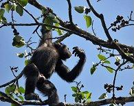 Voa  Guinea Chimpanzee Picking