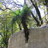 Wall Palm Along Camel's Back Road