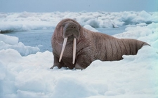 Walrus At Greenland National Park