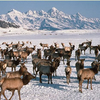 Wapiti On National Elk Refuge