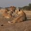 Western Serengeti, Lioness