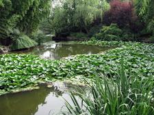 Lotus In West Lake