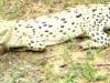 White Crocodile In Bhitarakanika