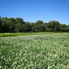White Flower Fields In Pahranagat NWR - Nevada