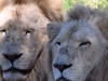 White Lions At National Zoo & Aquarium