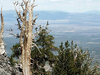 Ancient Bristlecone Pines