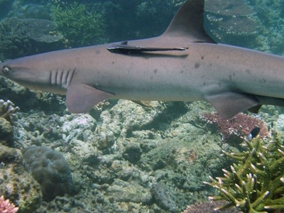 Whitetip Reef Shark At Tubbataha