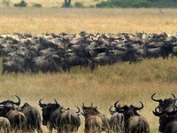 3 Days Wildebeest Migration A Spectacle of A Lifetime July To Oct