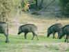 Wild Boar Herd