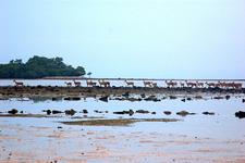 Wild Deers Near Bama Point, Baluran