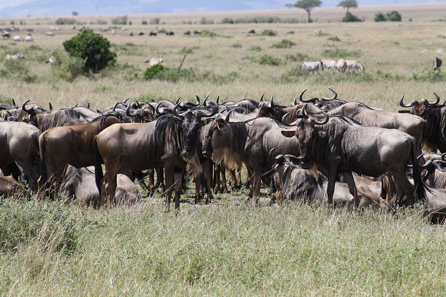 Just Mara Migration Photos