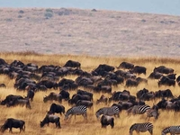 Tanzania Wildebeests Migration Safari July/Sept 2020