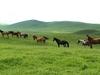 Wild Horses In Kazakhstan